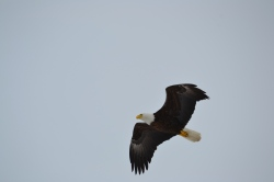 An eagle soaring above us